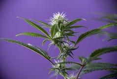 Зацветая завод марихуаны с предыдущей белой коноплей цветет сверх Стоковое фото RF