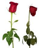 Зацветая и вянуть розы Стоковое фото RF