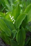 зацветая лилия стоковое фото rf