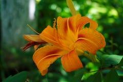 зацветая лилия Стоковая Фотография