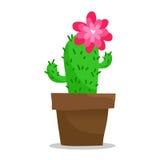 Зацветая кактус в баке, на белизне Стоковые Фото
