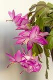 Зацветая кактус Кристмас Стоковое Изображение