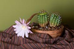 зацветая кактус Стоковое Фото