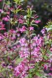Зацветая карлик миндалины в сезоне сада весной Стоковое фото RF