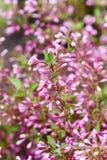 Зацветая карлик миндалины в сезоне сада весной Стоковое Изображение RF