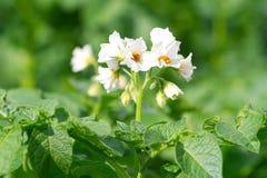 зацветая картошка bush стоковая фотография rf