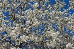 Зацветая кислое вишневое дерево Стоковое фото RF