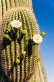 Зацветая конец кактуса Saguaro вверх Стоковые Фото