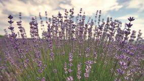 Зацветая конец цветка лаванды вверх в поле в Провансали Франции против голубого предпосылки неба и облаков видеоматериал