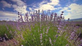 Зацветая конец цветка лаванды вверх в поле в Провансали Франции против голубого предпосылки неба и облаков сток-видео