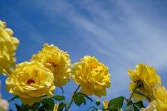 Зацветая красивые желтые розы цветут с зелеными листьями на тенях голубого неба и белой предпосылкой облака на день солнечности Стоковая Фотография RF