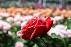 Зацветая красивые красочные розы в саде Стоковые Изображения