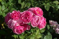 Зацветая красивые красочные розы в саде Стоковая Фотография