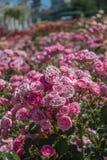Зацветая красивые красочные розы в саде Стоковая Фотография RF