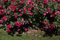Зацветая красивые красочные розы в саде Стоковое Изображение RF