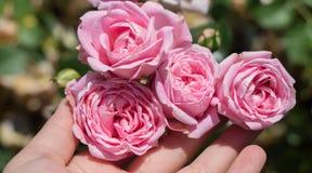 Зацветая красивые красочные розы в саде Стоковое Изображение