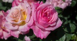 Зацветая красивые красочные розы в саде Стоковые Фотографии RF