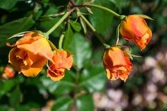 Зацветая красивые красочные розы в саде Стоковое Фото