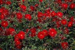 Зацветая красивые красочные розы в саде Стоковое фото RF
