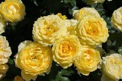 Зацветая красивые красочные розы в саде Стоковые Изображения RF