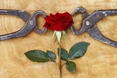 Зацветая красная роза схваченная в пинцете, резюмирует предпосылку Стоковая Фотография
