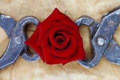 Зацветая красная роза схваченная в пинцете, резюмирует предпосылку Стоковое Изображение RF