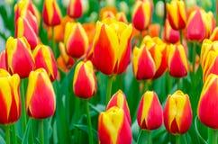 Зацветая красно-желтые тюльпаны в Keukenhof садовничают в Нидерландах, Европе Стоковые Изображения