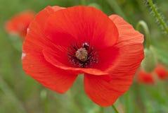Зацветая красный мак Стоковые Изображения