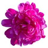 Зацветая красный пион изолированный на белизне стоковое фото