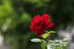 зацветая красный цвет поднял Стоковое Изображение RF