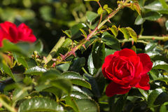 зацветая красный цвет поднял Стоковые Фото
