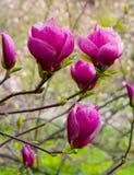 зацветая красный цвет magnolia Стоковая Фотография RF