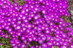 Зацветая красочный кактус Стоковое фото RF
