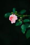 Зацветая крошечная роза пинка разветвляет изолированный на черной предпосылке Стоковое Изображение RF