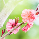 Зацветая вишневое дерево Стоковые Изображения RF