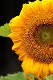 Зацветая крупный план солнцецвета на черной предпосылке Стоковое фото RF