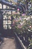 Зацветая кусты азалии в старом парнике ботанического сада Стоковое Фото