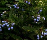 Зацветая куст, голубые колоколы Стоковые Фото
