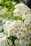 Зацветая куст цветков spirea белых в заходе солнца освещает стоковое фото