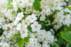 Зацветая куст цветков spirea белых в заходе солнца освещает стоковое изображение rf
