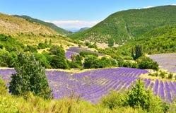 Зацветая лаванда в Альп, Провансаль, Франция стоковые изображения rf