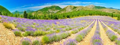 Зацветая лаванда в Альп, Провансаль, Франция стоковые фото