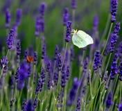Зацветая лаванда с симпатичные бабочки Стоковая Фотография RF