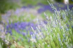 Зацветая лаванда Стоковая Фотография
