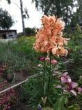 Зацветая лилия летом стоковые изображения rf