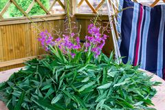 Зацветая листья sally и цветки - сырье для делать традиционный русский чай Koporsky также как чай Иван стоковое фото