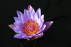 зацветая лотос Стоковая Фотография RF