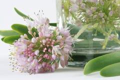 зацветая лук Стоковые Изображения RF