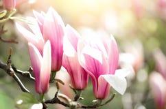 Зацветая лучи солнца дерева магнолии весной Селективный фокус скопируйте космос Пасха, весна цветения, солнечный день женщины Стоковые Изображения RF