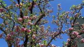 Зацветая магнолия дерева магнолии сток-видео